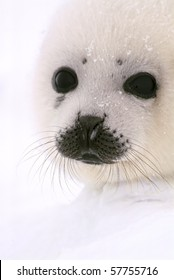 baby harp seal on ice floe in canadian north atlantic