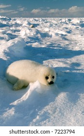 baby harp seal pup enjoys sun on ice floe in north atlantic