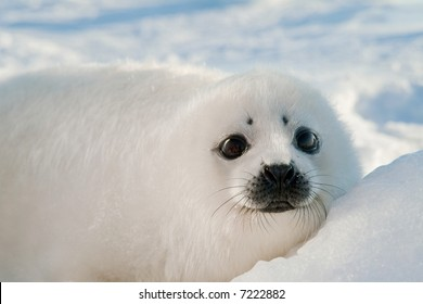baby harp seal pup resting on ice floe in north atlantic