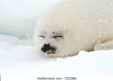 baby harp seal pup sleeps on ice floe in north atlantic