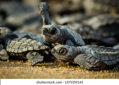 Baby hatchling sea turtles struggle for survival as they scamper to the ocean in Cabo Pulmo National Park near Cabo San Lucas, Mexico
