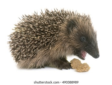 baby hedgehog  eating in front of white background