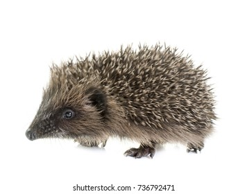 baby hedgehog in front of white background