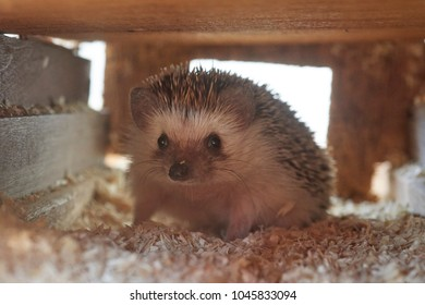 A baby hedgehog hiding inside box nest. It is any of the spiny mammals of the subfamily Erinaceinae. One of the most popular pets trending across the United States