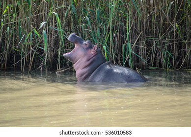 Baby hippo at the Isimangaliso wetland park, St Lucia, South Africa