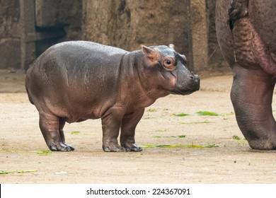 Baby Hippo at New Delhi Zoo