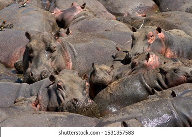 A baby Hippo rests safe in a mass of adults in a fast diminishing pool in the Katuma River.