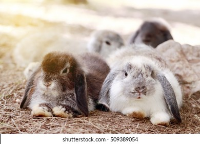 Baby Holland lop rabbit eating grass in park