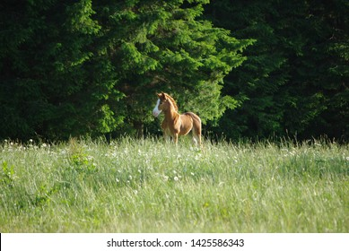A baby horse (colt) enjoying the greenery of a field and forest