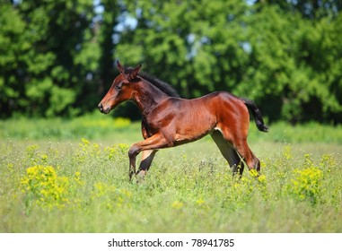 Baby horse running on Spring meadow