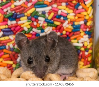 A baby house mouse, Mus musculus, inside of a kitchen cabinet standing on a pile of cereal in front of a jar of colorful candy sprinkles.