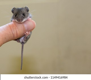 A baby house mouse, Mus musculus, facing the camera draped over a human thumb. The rodent is placed to the left of the mottled tan background leaving blank space for writing or notes.