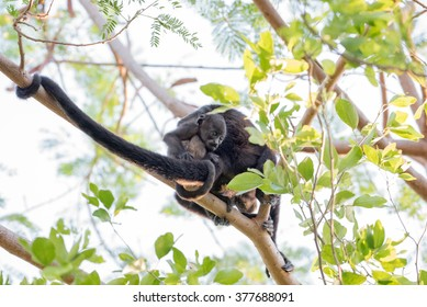 Baby howler monkey hanging on to his mother as she travels through the trees