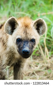 Baby Hyena in South Africa
