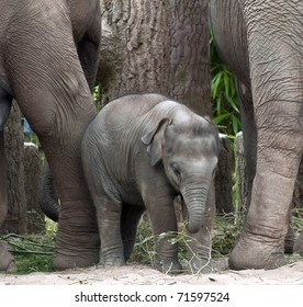 Baby Indian Elephant at Chester Zoo