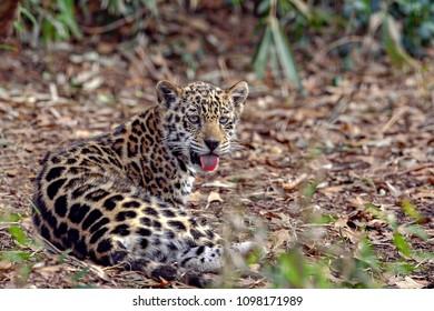 A baby Jaguar