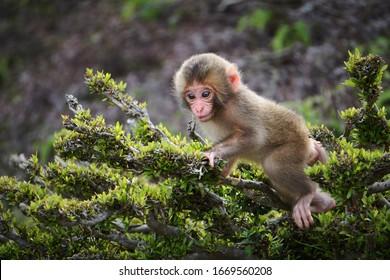 Baby Japanese Macaque climbing on branches at Arashiyama Monkey Park Iwatayama in Kyoto, Japan