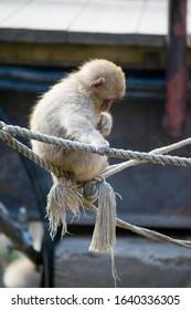 Baby Japanese macaque - Snow Monkey - at Jigokudani Monkey Park,  Yamanouchi, Nagano Prefecture, Japan