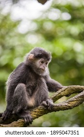 The baby Javan lutung (Trachypithecus auratus) closeup image,  also known as the ebony lutung and Javan langur, is an Old World monkey from the Colobinae subfamily
