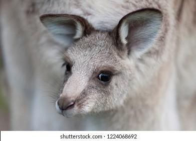 Baby kangaroo. Australia. Portrait.