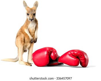 Baby Kangaroo with Boxing Gloves - Isolated