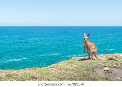 Baby Kangaroo at Coffs Harbour.