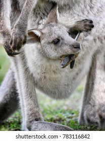 Baby Kangaroo and his Mother at Park, New South Wales, Australia