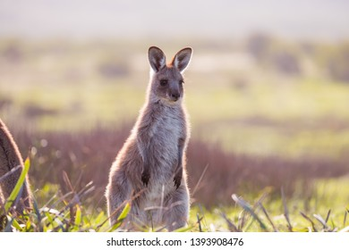 Baby kangaroo is looking away