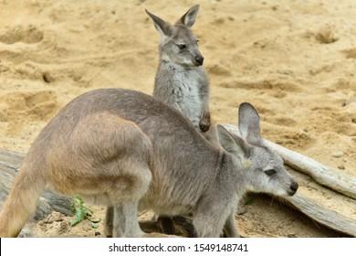Baby kangaroo and mother. Animal love and affection.  Cute joey image.