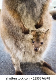 A baby kangaroo in the mother's pouch looking at you