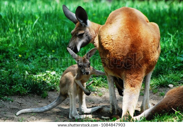Baby kangaroo stands close to its mothers