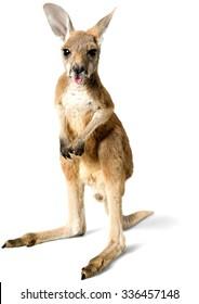 Baby Kangaroo Sticking out Tongue - Isolated