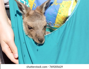 baby kangeroo in bag