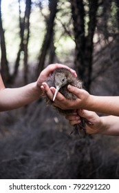 Baby kiwi bird being nursed in avian nursery in nature preserve at Cape Kidnappers, Hawkes Bay New Zealand