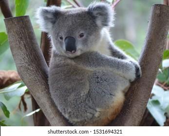 Bébé koala dans un gommier