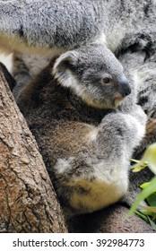 Baby koala looking innocently into the world.
