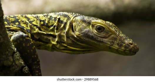 Baby Komodo dragon about one week old sitting on branch
