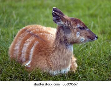 Baby Kudu Antelope