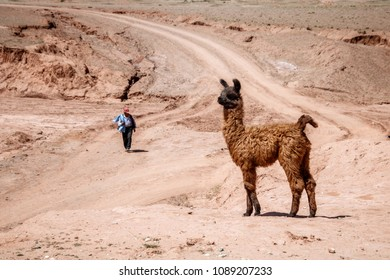 A baby lama stands near the road in the bolivian desert. Bolivia