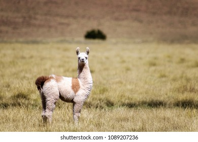 A baby lama stands in the valley with green grass. Bolivia