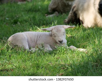 A baby lamb in a field in Grasmere near Ambleside in the Lake District Cumbria England