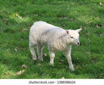 A baby lamb in a field on the outskirts of Grasmere near Ambleside and Keswick in the Lake District Cumbria England