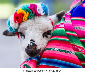 Baby lamb held in a multicolored traditional Peruvian blanket