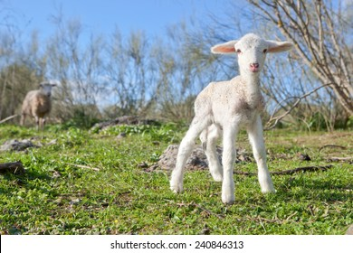 Baby lamb and her maternal watching mother, Extremadura, Spain