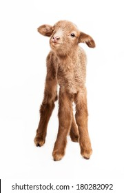 Baby lamb isolated on white background with