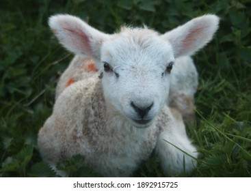 Baby lamb laying in field