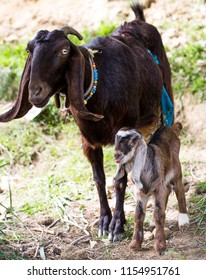 The baby lamb and its mother sheep are in rural