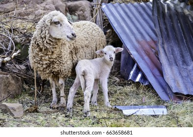 Baby lamb and mother tied to a rock with steel sheets close by