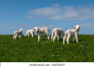 Baby lamb on green field with blue sky and other lambs and sheep