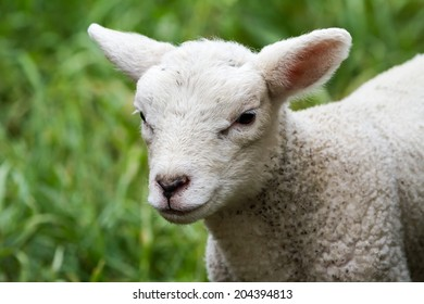 baby lamb stay and look around on the meadow